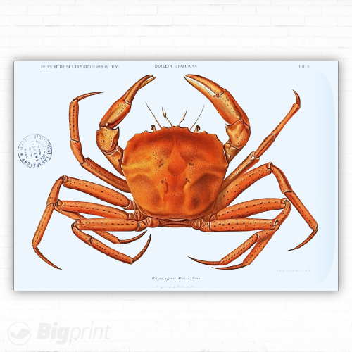 printed illustration of a red crab on blue background from 1899