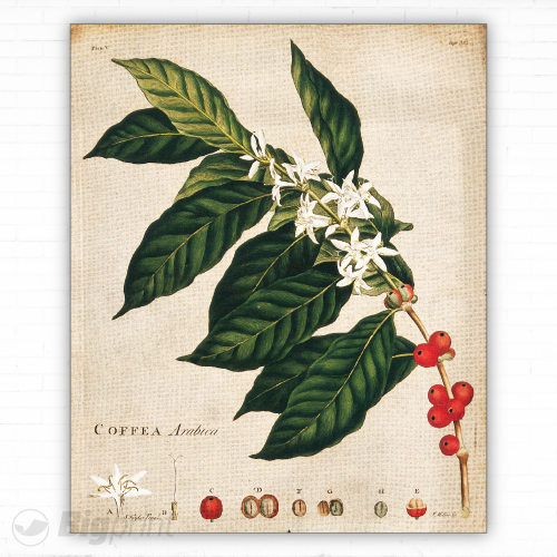 Colorful print of illustrated arabica coffee plant
